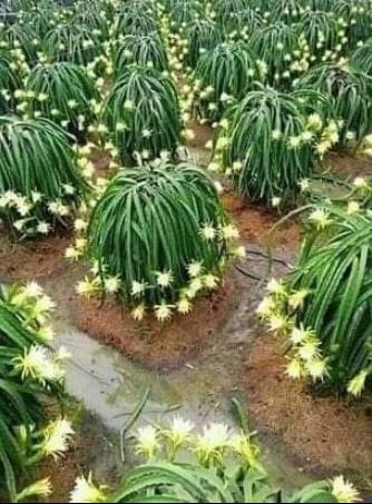 Цветущие кактусы, как вам такая красота! (источник: gofazenda)