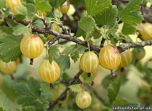 Осенняя посадка крыжовника Осень - лучшее время для посадки многих культур, в том числе и крыжовника, так как посаженные в этот период растения успевают хорошо прижиться и образовать новые