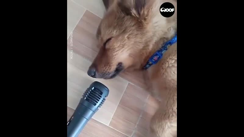 I could listen to this puppy snoring into a microphone all day long