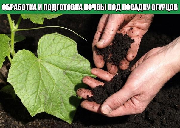 Обработка и подготовка почвы под посадку огурцов