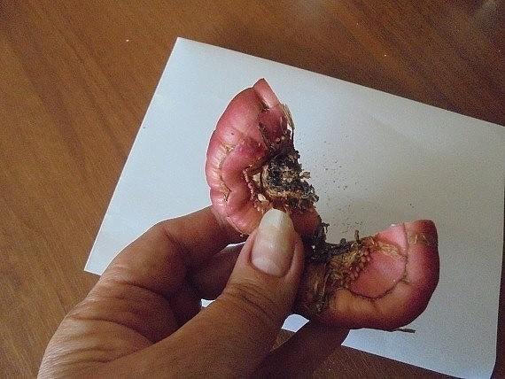 Методы размножения ГЛАДИОЛУСОВ Основным способом размножения гладиолуса считается размножение клубнепочками (детками). Но я предпочитаю делить клубнелуковицу.Клубнелуковицу делю на столько,