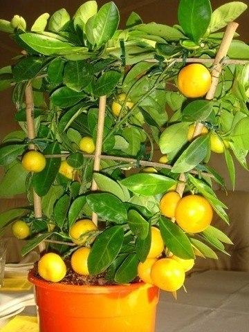 5 СЕКРЕТОВ УХОДА ЗА МАНДАРИНОВЫМ ДЕРЕВОМ 1. Уход за мандариновым деревом начинается с выбора правильного местоположения.Важно знать, что у мандаринового дерева при недостатке света опадают